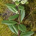 Hylotelephium verticillatum (leaf).jpg