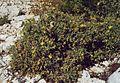 Hypericum aegypticum 1.jpg