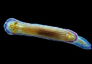 <i>Hypselodoris katherinae</i> species of mollusc