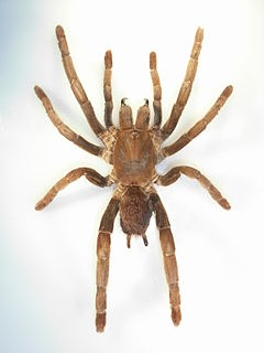 <i>Hysterocrates</i> Genus of spiders