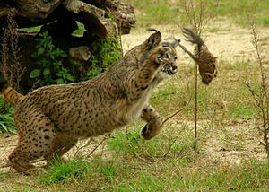 Iberian lynx - Swiping with right paw with claws extended