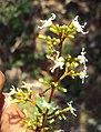 Ichnocarpus frutescens 21.JPG