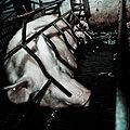 Igualdad Animal - Investigación Granjas Cerdos Toledo - Mayo 2010 1318 (7138359607).jpg