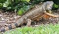 Iguana iguana 15zz.jpg