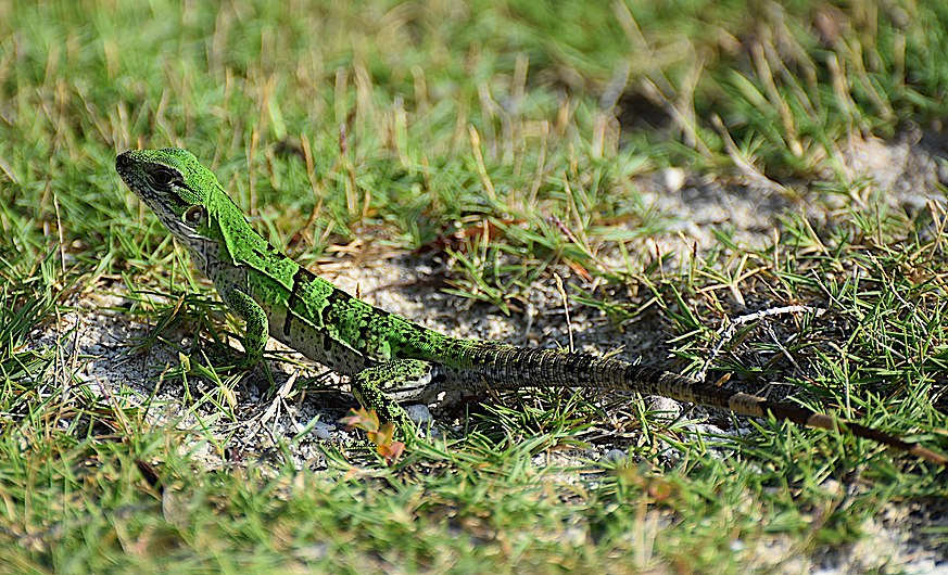 Iguane vert juvénile.jpg