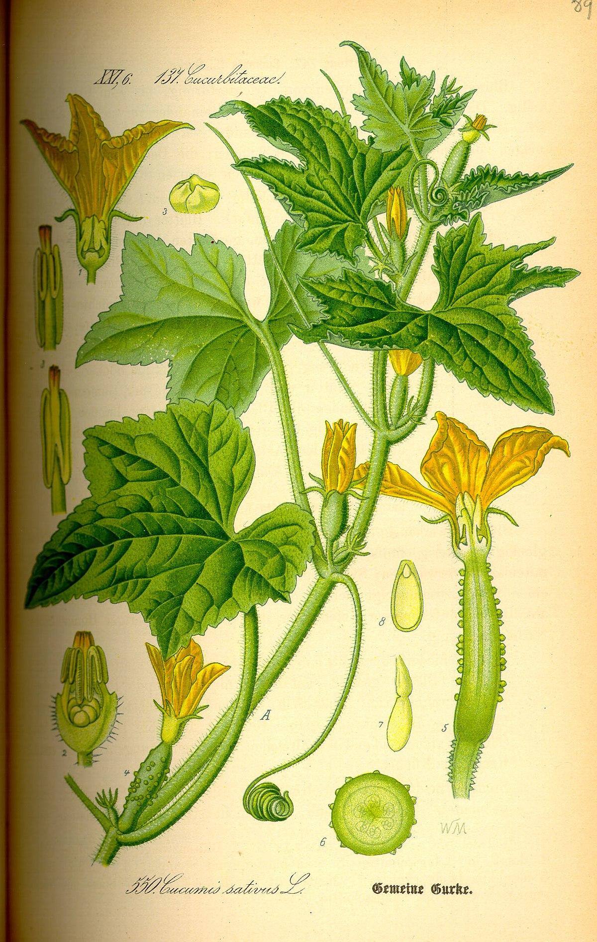 Cucumis sativus - Wikipedia, la enciclopedia libre