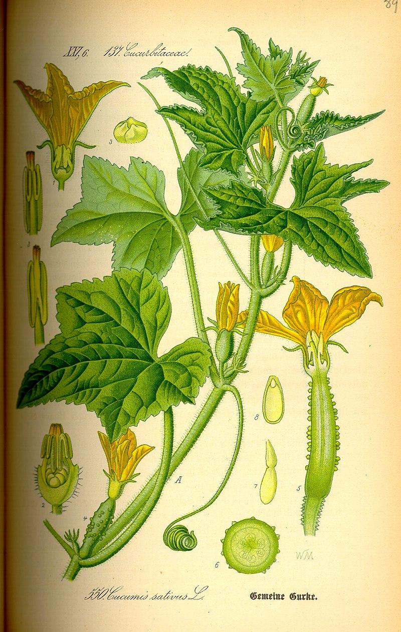 Ботаническая таблица частей огуречного растения с цветками и плодами