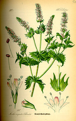 Illustration Mentha spicata0.jpg