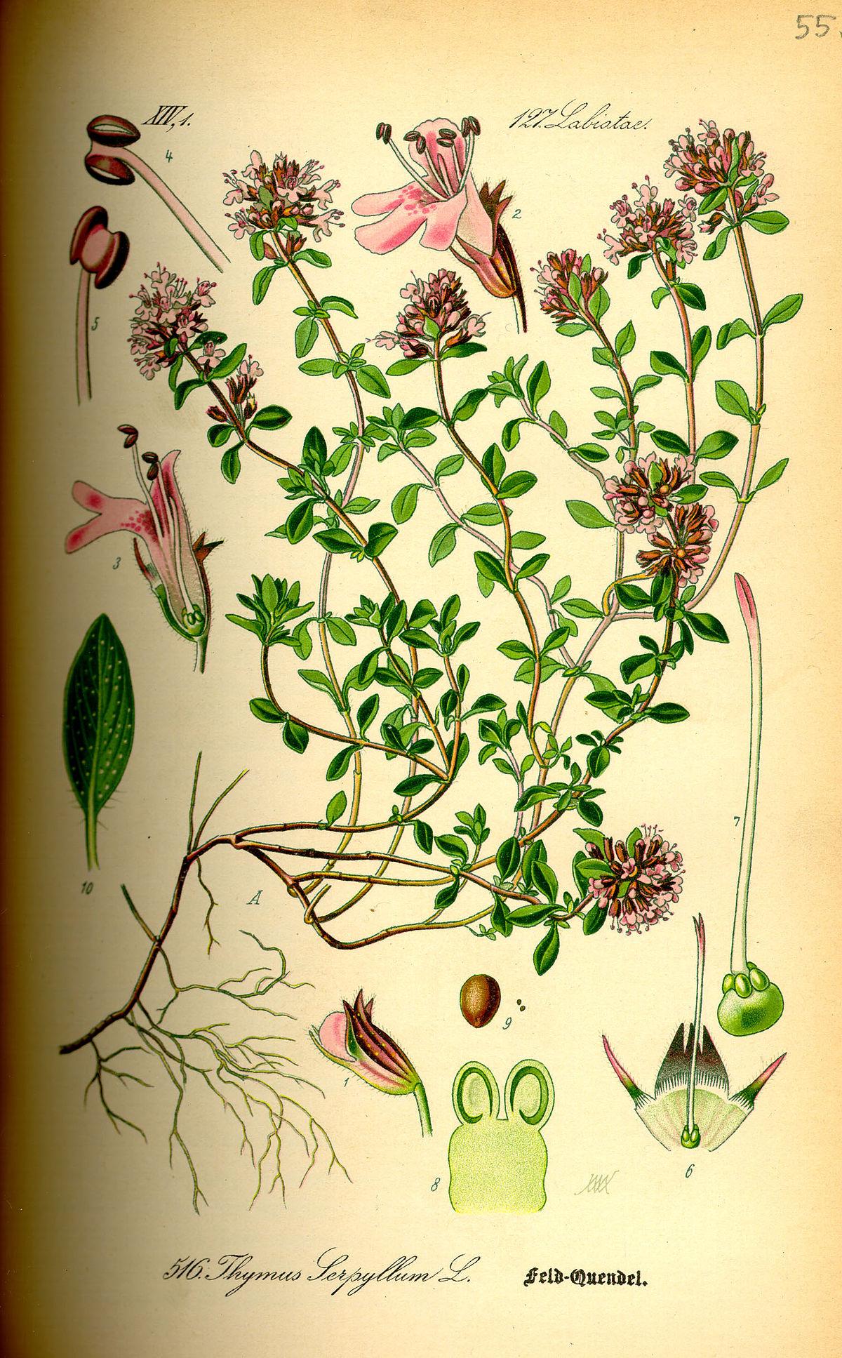 Teakbaum frucht  Lippenblütler – Wikipedia