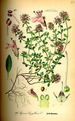 Thymian (Thymus serpyllum), Illustration