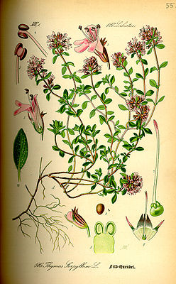 Sand-Thymian (Thymus serpyllum), Illustration