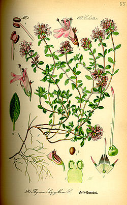 Illustration Thymus serpyllum0.jpg