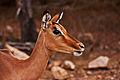 Impala Female 1.jpg