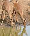 Impalas (Aepyceros melampus) female drinking ... (31373211553).jpg