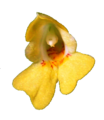 Impatiens parviflora20090912 108.png