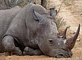 Impressive Rhinoceros, as photographed by my brother in law Han in the Greater Krugerpark - panoramio.jpg