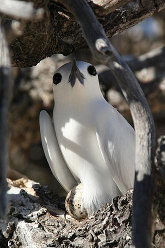 Broodiness - A brooding White tern (Gygis alba).