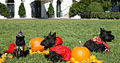 India the Cat Miss Beazley and Barney Halloween 2007.jpg