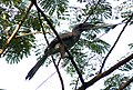 Indian Grey Hornbill Ocyceros birostris breaking kite. By Dr. Raju Kasambe.jpg