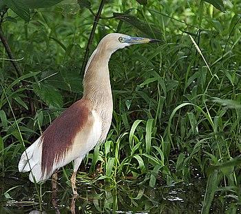 English: Indian Pond Heron Ardeola grayii in K...