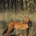 Indian Wild Dog.jpg