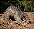 Indian pangolin (Manis crassicaudata) - oo 246940 (cropped to A).jpg