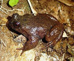 240px insuetophrynus acarpicus