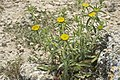 Inula ensifolia-3286.jpg