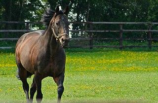 Invincible Spirit Irish-bred Thoroughbred racehorse