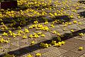 Ipê Amarela - petals on ground.jpg