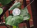 Ipomoea tricolor-3-yercaud-salem-India.jpg