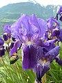 Iris germanica Valais3.JPG