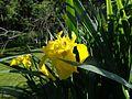 Iris im Landschaftsschutzgebiet Passau.jpg