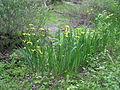 Iris pseudacorus Russia 1.jpg