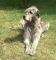 Irischer-wolfshund-2001.jpg