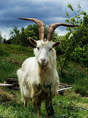 Irish Goat. Source: http://www.flickr.
