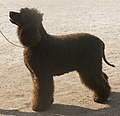 Irish Water Spaniel 3.jpg