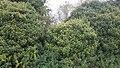 Ivy (37088403305).jpg