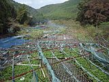 Izu city, Ikadaba, Wasabi fields 20111002 A.jpg