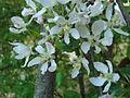 Jabloň lesní květy.JPG