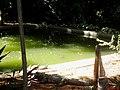 Jacaré-do-pantanal ou jacaré-do-paraguai (nome científico, Caiman yacare). Este é o único exemplar no Zoológico de Catanduva. Recentemente esta espécie saiu da lista dos animais ameaçadas de extinç - panoramio.jpg