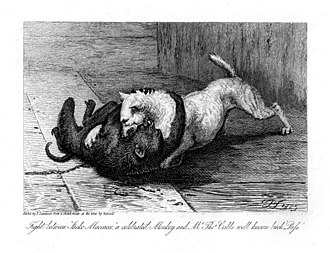 Jacco Macacco - Fight between Jacko Maccacco a celebrated Monkey and Mr Tho. Cribbs well known bitch Puss by Thomas Landseer, 1825 etching from an earlier sketch by the artist