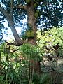 Jackfruit tree from volvonem.jpg