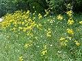 Jacobaea vulgaris - Dordogne 04.jpg
