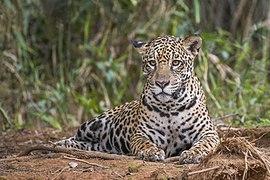 Jaguar (Panthera onca palustris) female Piquiri River 3.jpg