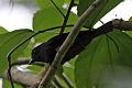 Jamaican Becard (Pachyramphus niger) (8082132988).jpg