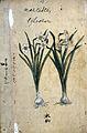 Japanese Herbal, 17th century Wellcome L0030094.jpg