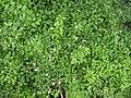 Jasminum-variety-pitchi-Tamil Nadu.JPG