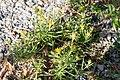Jasonia tuberosa -3007 - Flickr - Ragnhild & Neil Crawford.jpg