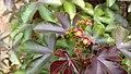 Jatropha gossypiifolia 05.jpg